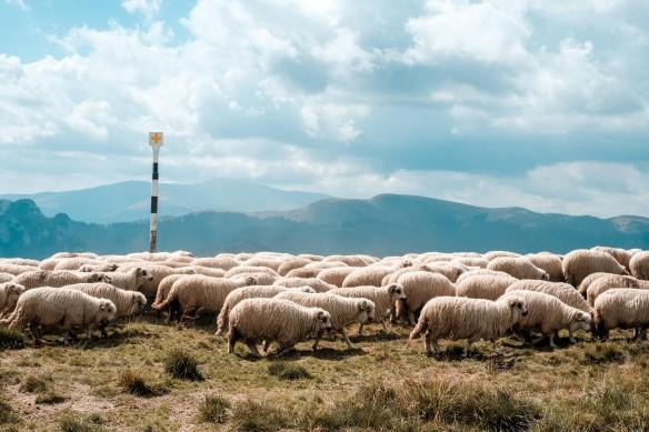 Die Herde folgt ihrem Hirten  Foto: unsplash/Leo foureaux